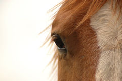 Eye of the horse Stock Images
