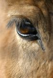 Eye of the horse. The horse plaintively looks at this severe world Royalty Free Stock Image