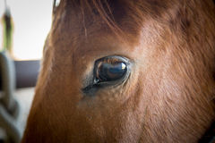 Eye of a horse. Eye of a brown horse looking at camera Royalty Free Stock Images