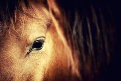 Eye horse Stock Photography