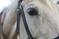 Eye of a horse close up Stock Photography