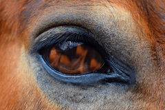 Eye of Horse, Fire royalty free stock photography