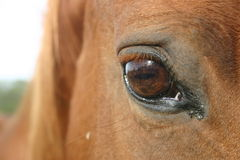 Eye of the Horse Royalty Free Stock Photos