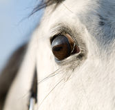 Eye of the horses Stock Image