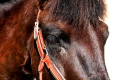 Eye of the Hucul pony after dressage competition. royalty free stock images