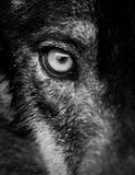 Eye of iberian wolf Canis lupus signatus. Fearless, free, wild, ambush and willpower concepts Stock Photo