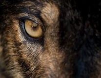 Eye of iberian wolf Canis lupus signatus. Fearless, free, wild, ambush and willpower concepts Royalty Free Stock Images
