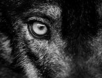 Eye of iberian wolf Canis lupus signatus. Fearless, free, wild, ambush and willpower concepts Royalty Free Stock Image