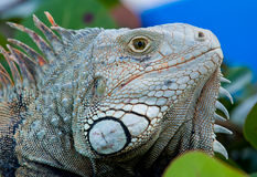 Eye of Iguana Stock Images