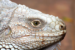 the eye of  iguana Royalty Free Stock Image