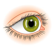 Eye illustration. Illustration of realistic human green eye Royalty Free Stock Photos