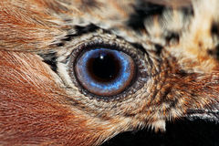 Eye of the Jay Stock Image