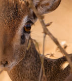 The eye of a Kirk´s Dik Dik Stock Image