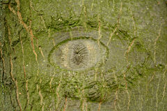 Eye knot in tree trunk Royalty Free Stock Images