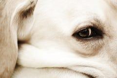 Eye of labrador Royalty Free Stock Photos