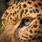 Eye of Leopard. Royalty Free Stock Image
