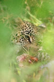 Eye of the leopard Stock Photography