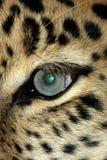 eye leoparden Royaltyfri Foto