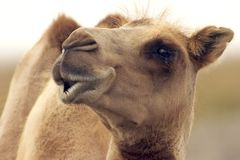 Eye level with a camel. Eye to eye with a camel Stock Photo