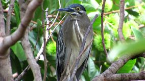 Frontal View Of A Little Heron On A Branch