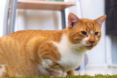 Eye level ginger and white cat Royalty Free Stock Photography