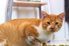 Eye level orange and white cat Royalty Free Stock Photos