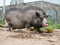 Black Pot Belly Pig With Long Bristles. Eye level view of adult full grown black pot belly pig with long hair bristles on back royalty free stock photos