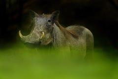 Eye Level Warthog Royalty Free Stock Image