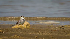 Eye level of White Wagtail Stock Images