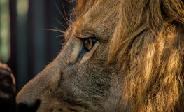 Eye of a Lion. A Detailed shot of male lion face Royalty Free Stock Photo