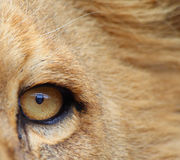 Eye of the Lion. Portrait of a lion, focused on the eye of the lion Royalty Free Stock Image