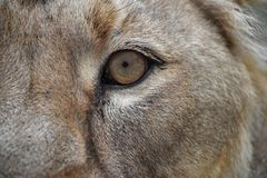 Eye of the lioness extreme close up Stock Images