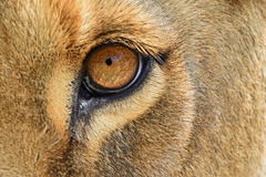 Eye of the lioness extreme close up Stock Photo