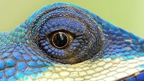 Eye of lizard. Eye of lizard Blue-crested Lizard on the tree in tropical rain forest stock footage