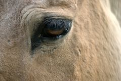 Eye and long lashes of a brown horse, color photo. Eye and long lashes of a brown horse, color photo taken in Moscow zoo Stock Image