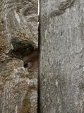 Eye looking out a knot hole. Human eye looking out a knot hole Stock Photo