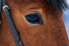 Eye macro brown thoroughbred horse Stock Photos