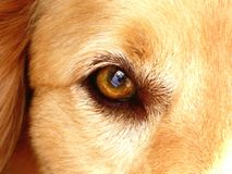 The Eye Of Mans Best Friend Stock Image