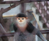 Eye Monkey in the cage Royalty Free Stock Photography