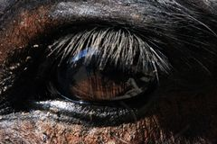 Eye of a Mule Royalty Free Stock Photos