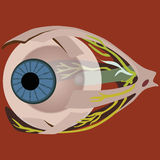 Eye muscles. Vector illustration of eye muscles stock illustration