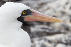 Eye of the Nazca booby Stock Image