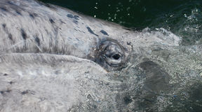 Eye of a Newborn Gray Whale Stock Images