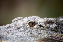 Eye of a Nile Crocodile Stock Photo