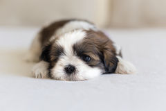 Eye and nose of little shih-tzu puppy Royalty Free Stock Photography