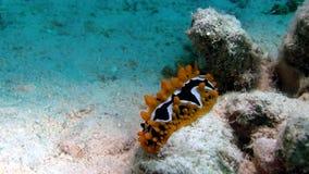 Eye o ocellata de Phyllidia da lesma de mar do ponto no Mar Vermelho filme