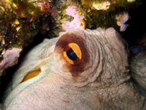 Eye of Octopus Stock Images