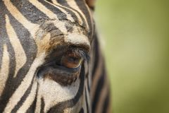 Free Eye Of Zebra Stock Images - 36829184