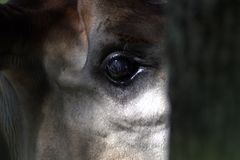 Okapi looks at you. royalty free stock photography