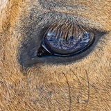 Eye of an old mare. Close up of old horse eye in which is reflected snow Stock Photo